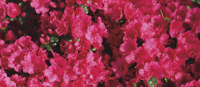 Rhododendrons and Azaleas: What is the Difference?