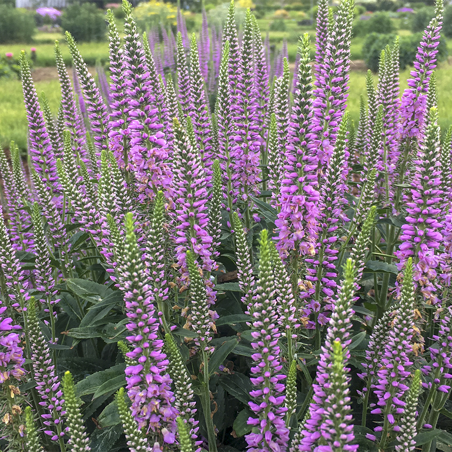 The Best New Perennials of 2019