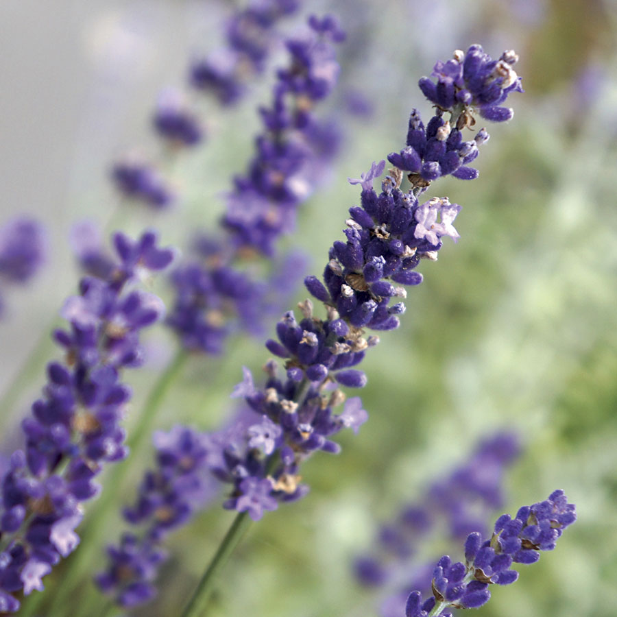 Fragrant Plants to Add to Your Garden