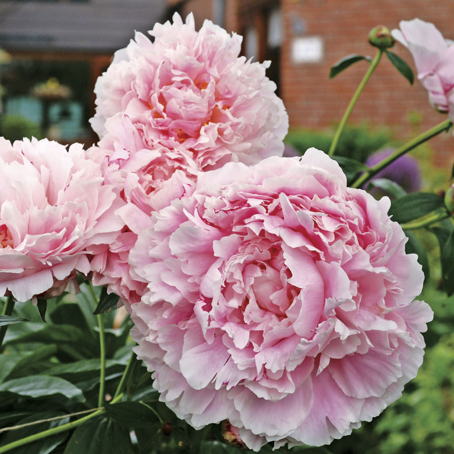 Peony Perfection: All the Tips you Need!