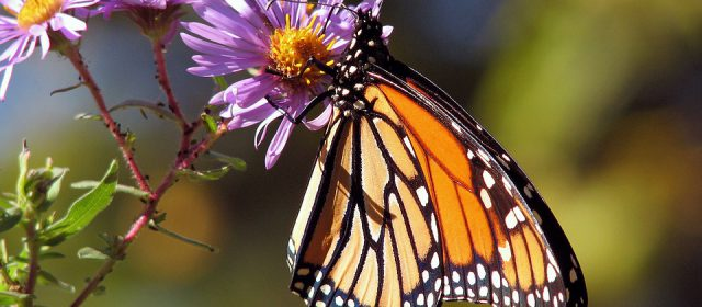 Monarch: The Butterfly Migration